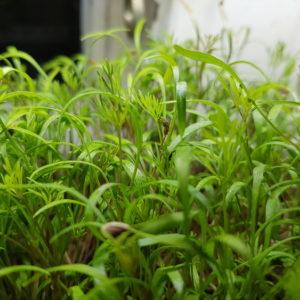 Dillfrön (microgreens) EKO 40g – 250g