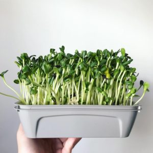 Odlingslåda för microgreens, skott, bladsallad och kryddor