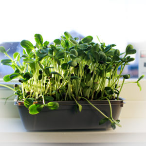 Startpaket mikrogrönt (skott) frön, odlingslåda och fibermattor