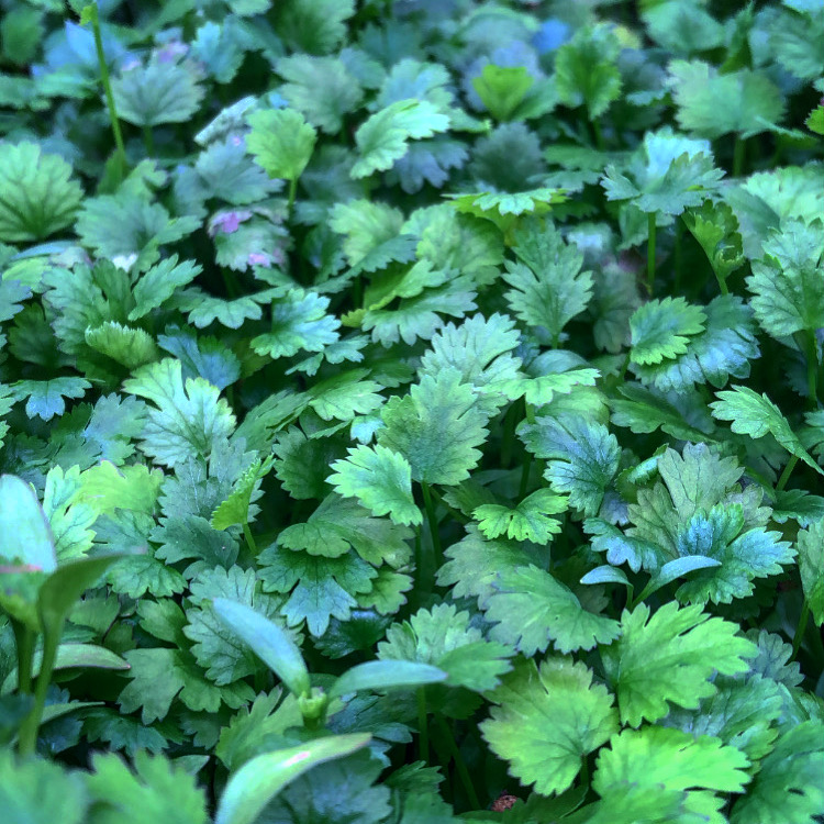 Odla koriander-skott (microgreens/bladsallad)