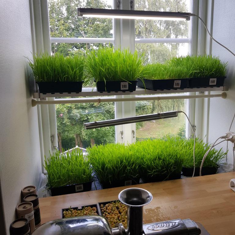 Odla vetegräs – Med Gullvi