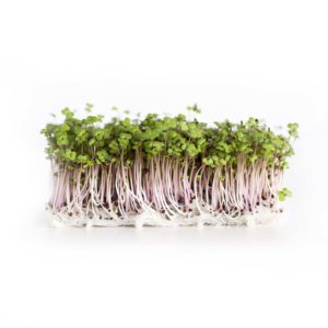 Red Russian Kale (microgreen) EKO 40g – 250g