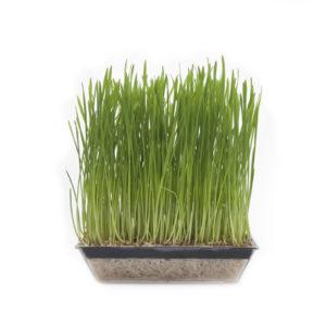 Vete för vetegräs och groddar (DINKEL) EKO